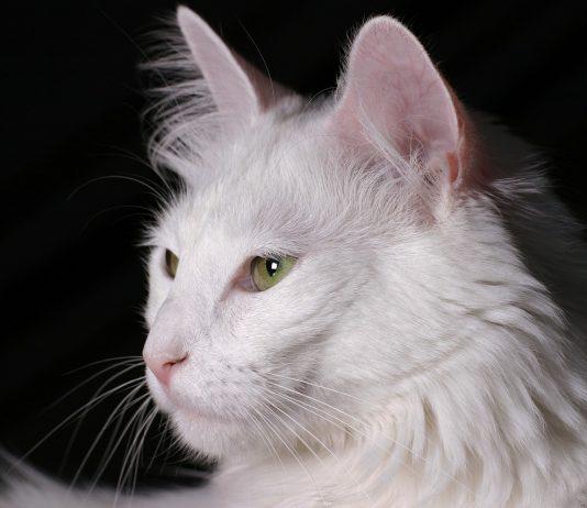 ankara kedisi, ankara kedisi özellikleri, ankara kedisi bakımı, ankara kedisi beslenmesi