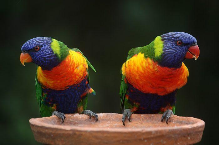 gökkuşağı papağanı resmi