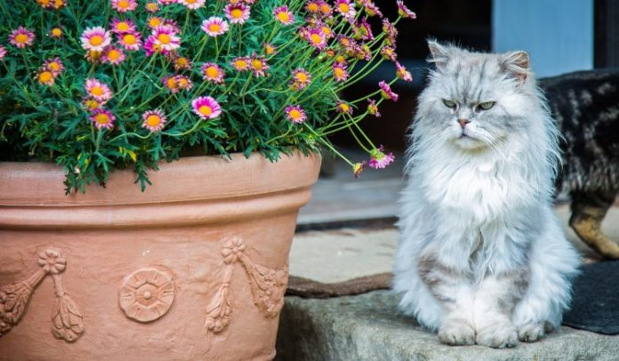 iran kedisi, iran kedisi özellikleri, iran kedisi bakımı, iran kedisi beslenmesi, persian kedi, iran kedisi chinchilla, ıran kedisi