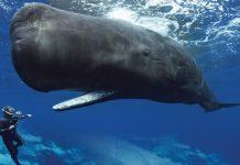 ispermeçet balinası