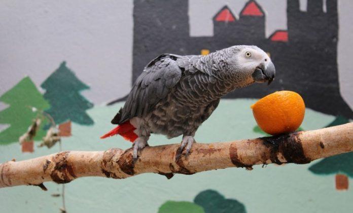 jako papağan, jako papağan özellikleri, jako papağan bakımı, jako papağan beslenmesi