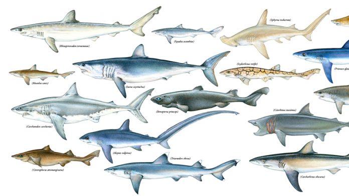köpekbalığı türleri, köpekbalığı çeşitleri, köpekbalığı cinsleri, köpek balığı türleri, köpek balığı çeşitleri, katil köpek balığı, en büyük köpek balığı, köpek balığı cinsleri, en tehlikeli köpek balığı, küçük köpek balığı, köpek balığı türleri resimli, en yırtıcı köpekbalığı, kopek baligi turleri