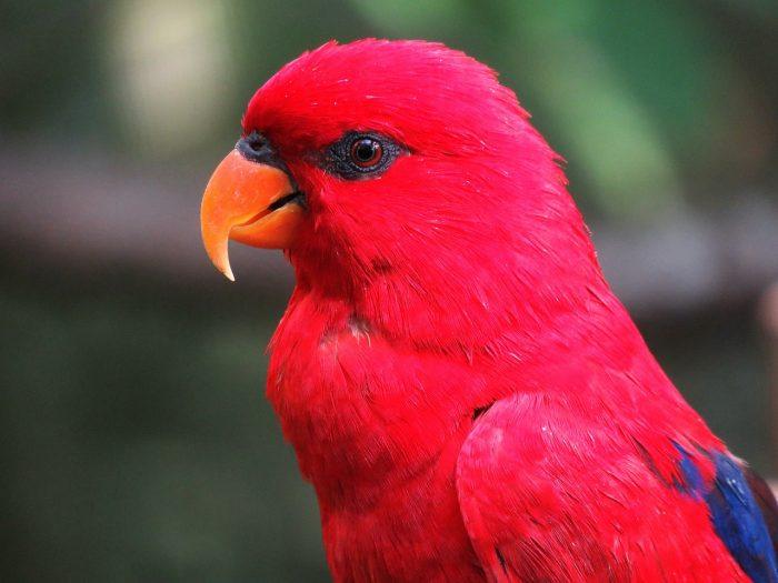 kırmızı amerika papağanı resmi