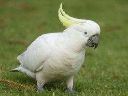 kakadu papağanı, kakadu papağanı özellikleri, kakadu papağanı bakımı, kakadu papağanı beslenmesi
