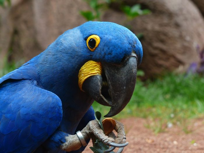 mavi ara papağanı resmi
