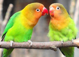 sevda papağanı, sevda papağanı özellikleri, sevda papağanı bakımı, sevda papağanı beslenmesi