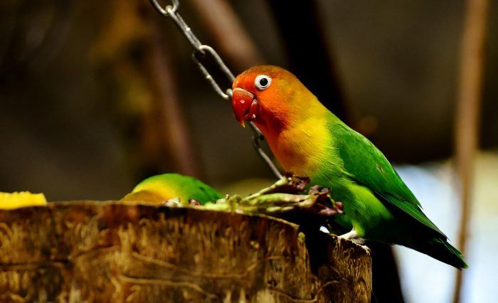 sevda papağanı resmi