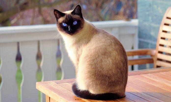 siyam kedisi, siyam kedisi özellikleri, siyam kedisi bakımı, siyam kedisi beslenmesi