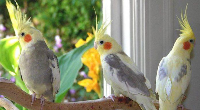 sultan papağanı, sultan papağanı özellikleri, sultan papağanı bakımı, sultan papağanı beslenmesi