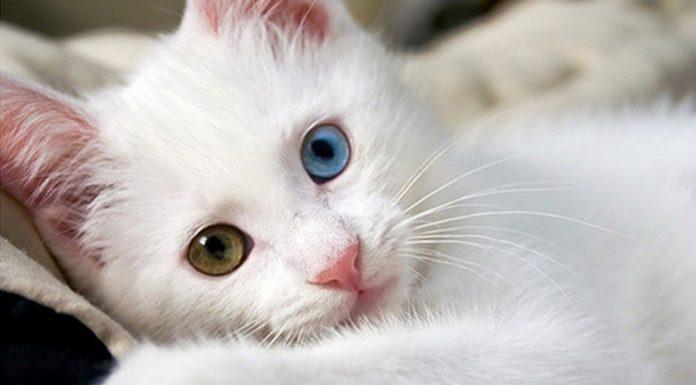van kedisi, van kedisi özellikleri, van kedisi bakımı, van kedisi beslenmesi