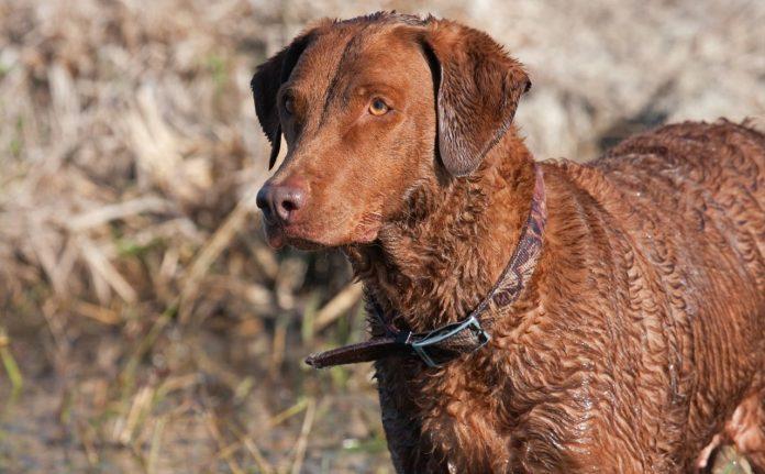 Chesapeake Bay Retriever, Retriever köpek cinsleri, Retriever köpek ırkları
