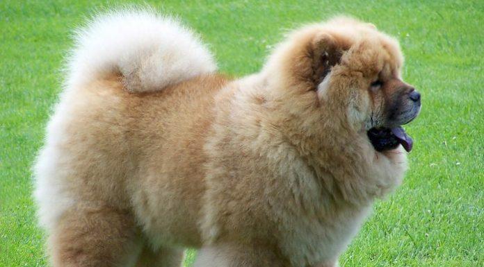 chow chow köpek, çin aslanı