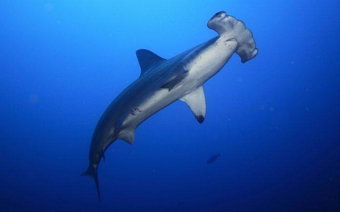 çekiç başlı köpekbalığı, çekiç kafalı köpekbalığı, çekiç köpekbalığı