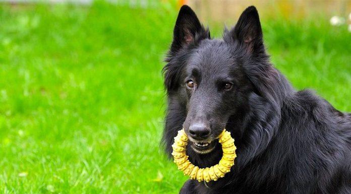 groenendael, groenendael dog, groenendael köpek, belçika çoban köpeği