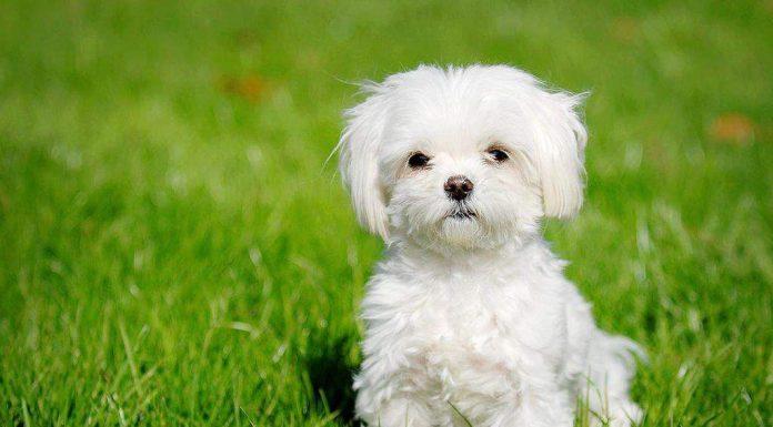 malta köpeği, maltese terrier, malta terrier, maltese köpek