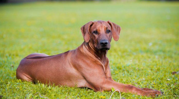 rhodesian ridgeback, rhodesian ridgeback dog, rodezya aslan tazısı, aslan tazısı