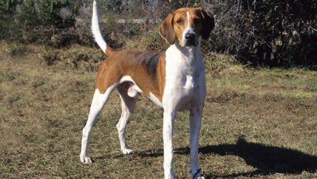 AmerikanFoxhound