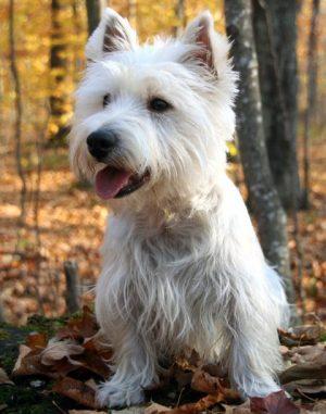 Beyaz Terrier
