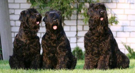 Siyah Rus Terrier