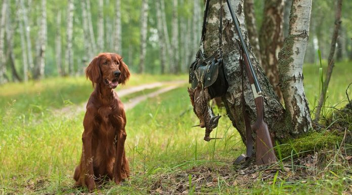 av köpeği cinsleri, av köpeği isimleri, av kopekleri, av köpeği türleri, setter av köpeği, pointer av köpeği, av köpeği ırkları, en iyi av köpekleri, av köpeği cinsleri resimli, av köpeği çeşitleri
