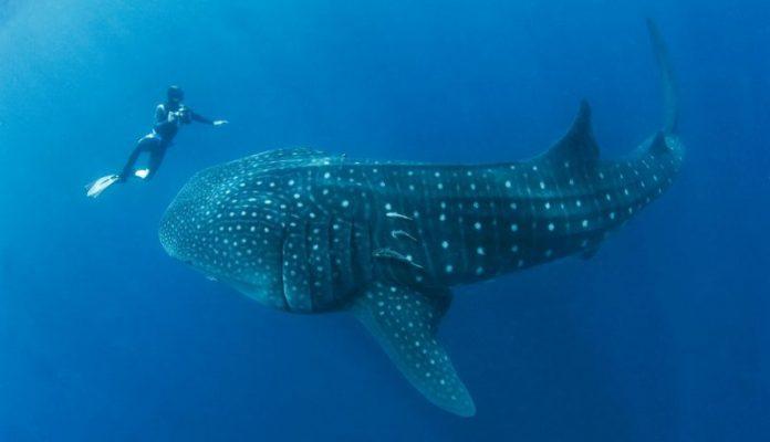 balina köpekbalığı