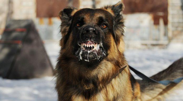 en tehlikeli köpekler, tehlikeli köpek cinsleri, en tehlikeli köpek cinsleri, tehlikeli köpek ırkları, tehlikeli köpekler, dünyanın en tehlikeli köpeği, dünyanın en saldırgan köpeği, saldırgan köpekler, en saldırgan köpekler, saldırgan köpek cinsleri