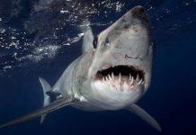mako köpekbalığı, mako köpek balığı, en hızlı köpekbalığı, en hızlı köpek balığı, longfin mako, shortfin mako