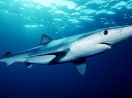 mavi köpekbalığı, mavi köpek balığı, prionace glauca