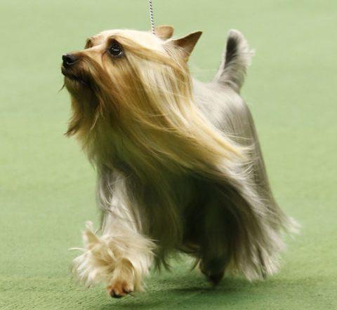 İpeksi Terrier