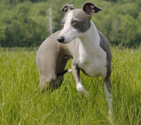 İtalyan Greyhound