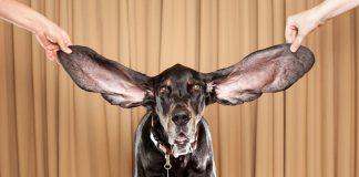 uzun kulaklı köpek cinsleri, uzun kulaklı köpek