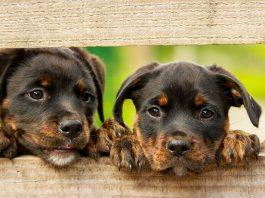Yaşam Süresi Uzun Olan Köpek Cinsleri